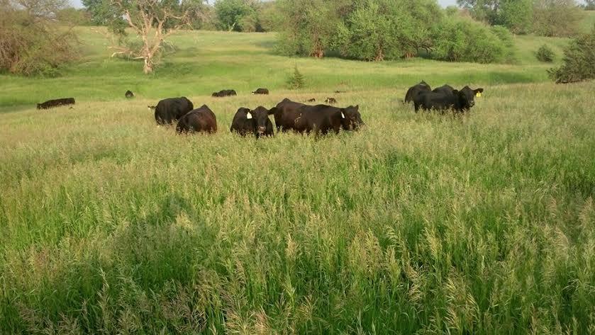 ECC Cows.jpeg