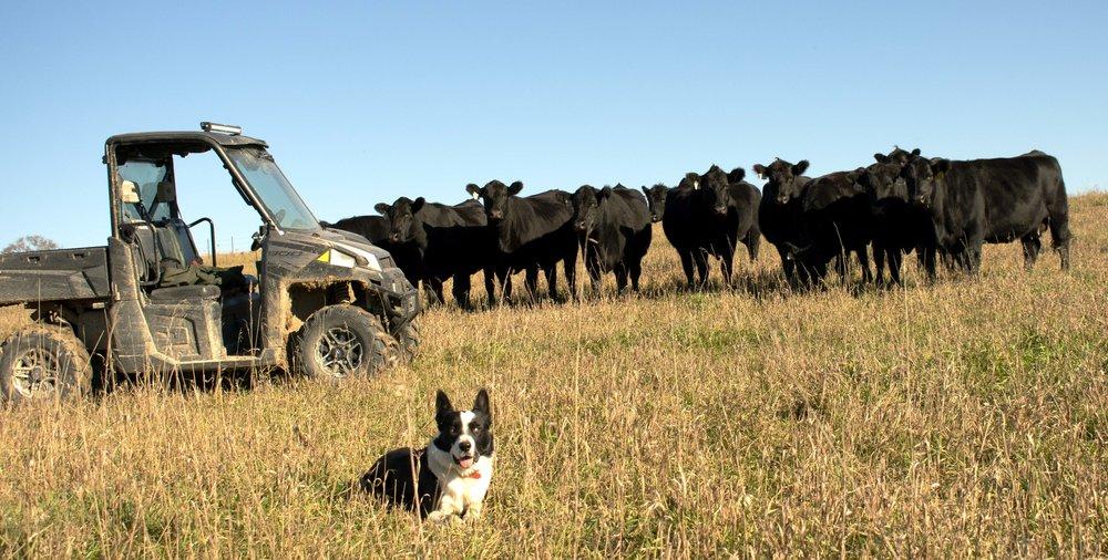Herd Dog.jpg