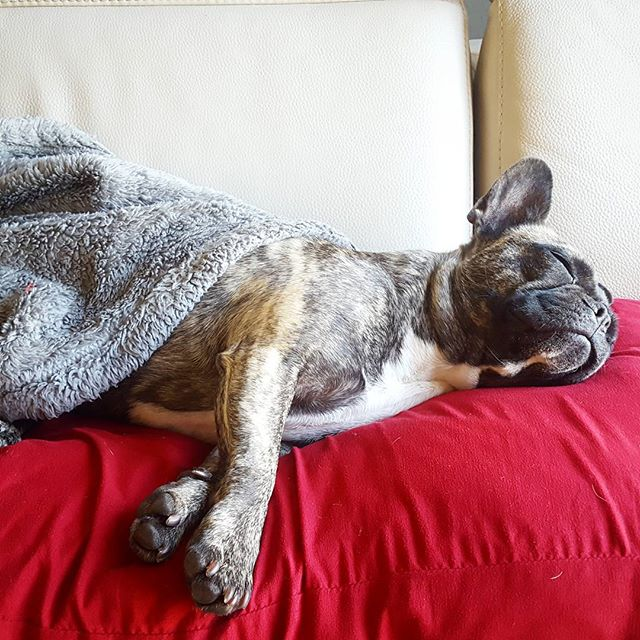 Please come back later 😴 #frenchie #frenchbulldog #frenchiesofinstagram #instafrenchie #squishyfacecrew #thefrenchiepost #fogcitybulldogs #frenchbulldogsofinstagram #brindle #brindlefrenchie #buldogfrancuski #bouledoguefrancais #bulldogfrances #bayareafrenchie #fcjosie