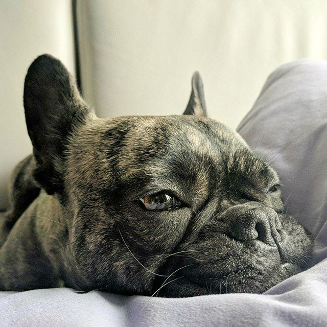 Napping before we party tonight with Cody from @chow_chowder duo 😙 #frenchie #frenchbulldog #frenchiesofinstagram #instafrenchie #squishyfacecrew #thefrenchiepost #fogcitybulldogs #frenchbulldogsofinstagram #brindle #brindlefrenchie #buldogfrancuski #bouledoguefrancais #bulldogfrances #bayareafrenchie #sffrenchie