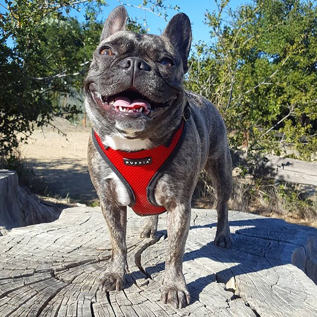 Such a happy day! Loving long weekend 😚 #frenchie #frenchbulldog #dogsofinstagram #puppy #🐶 #bayareafrenchie #brindle #instabulldog #squishyfacecrew #ilovebulldogs #pardonmyfrenchie #frenchiesofinstagram #fogcitybulldogs #thefrenchiepost #LOVEABULLY #smilingfrenchie #smile