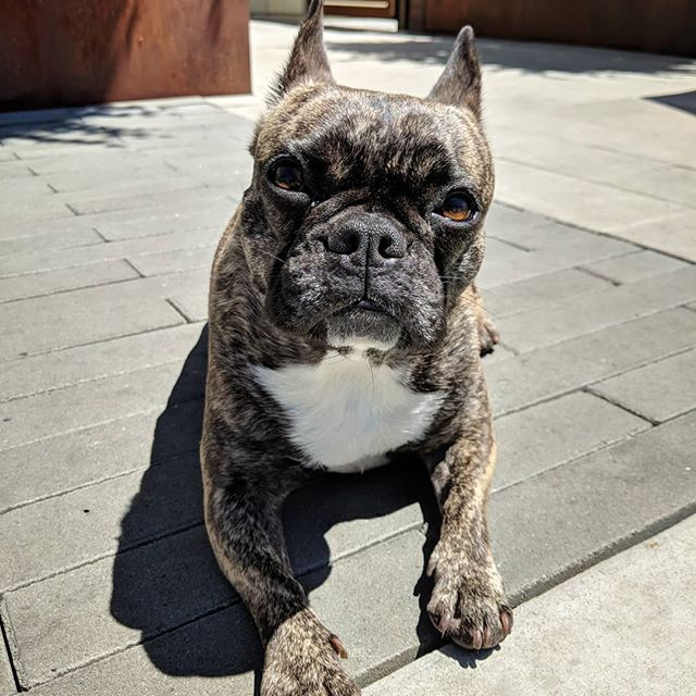 Chillin in the #California sun ☀️😎 #frenchie #frenchiesofinstagram #frenchbulldog #caligirl #buldogfrancuski #bayareafrenchie #brindlefrenchie #bulldogfrancese #fcjosie #fogcitybulldogs