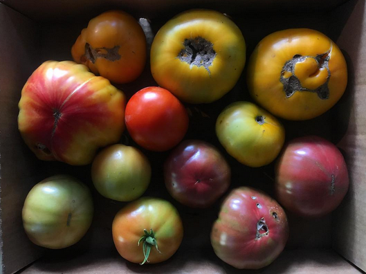 root bottom farm tomatoes