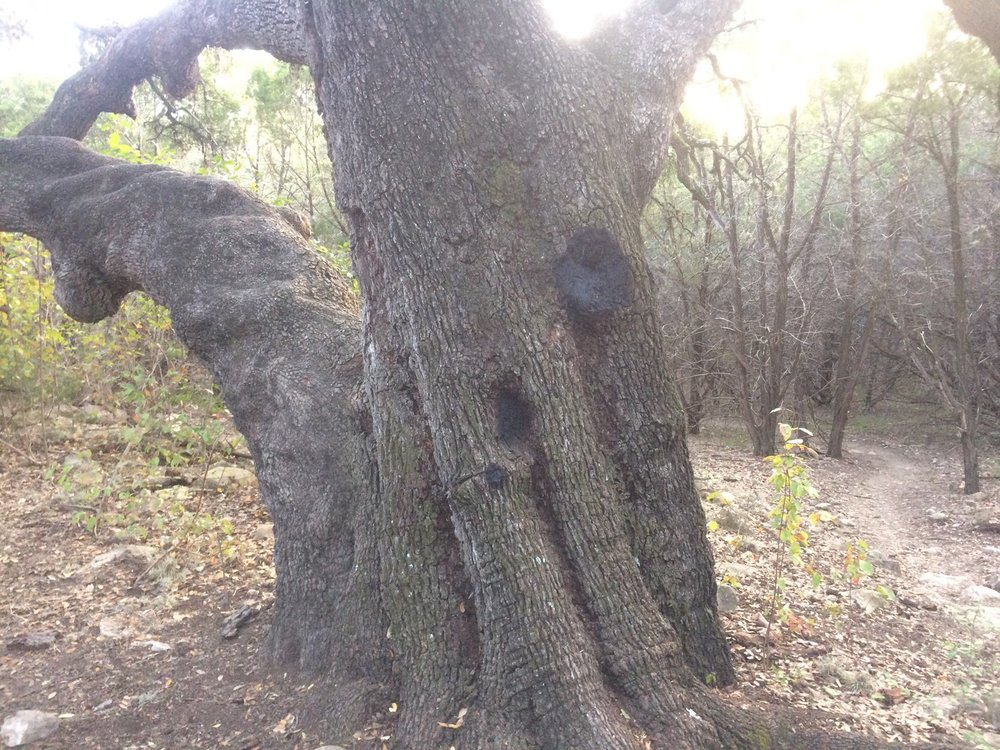 Vandalism of our heritage oak below the Cinnabar trailhead.