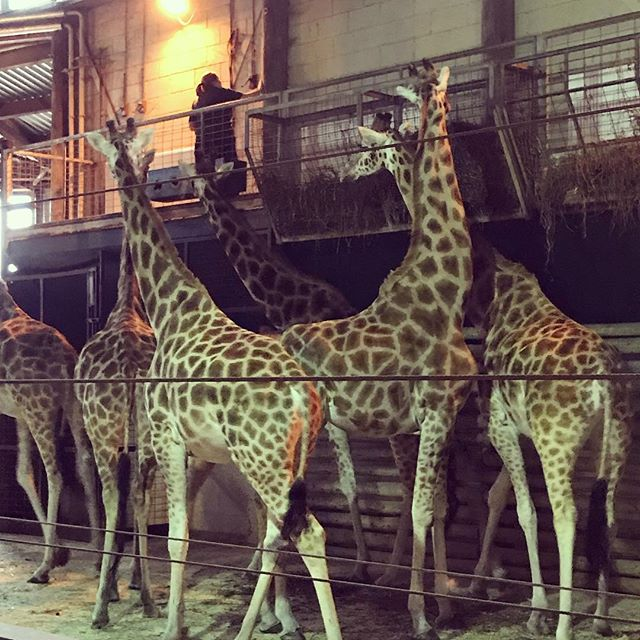Just met some new friends! 🦒#zootrip @marwellzoo