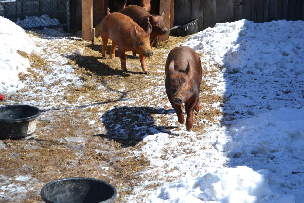 running of the pigs.JPG
