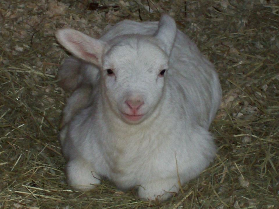 Lamb by nicki.jpg