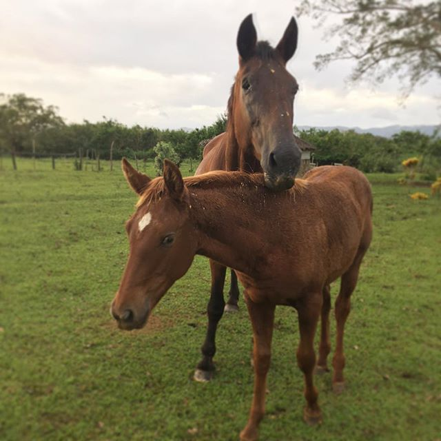 This mama and baby duo are still inseparable 🐴❤️🐴 #discovervanuatu #horseriding #tours #foal #ranch #southpacific #vanuatu #bellevueranch #travel #holiday #bucketlist #gorgeous #adventure