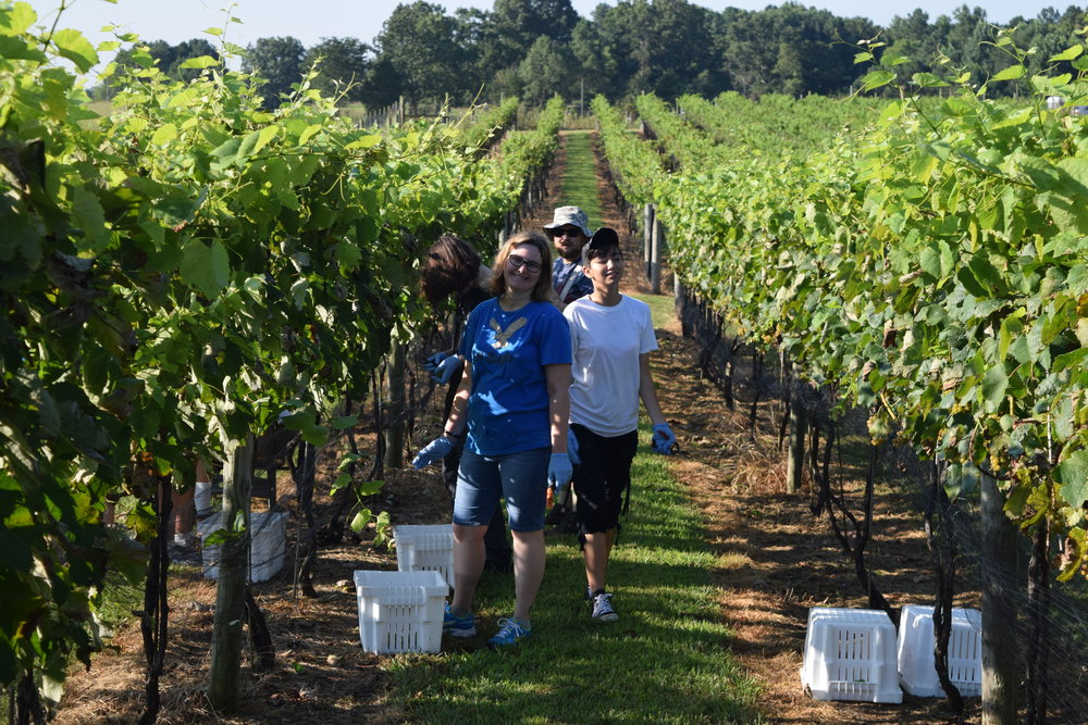 One thing we do to raise money is grape-picking.