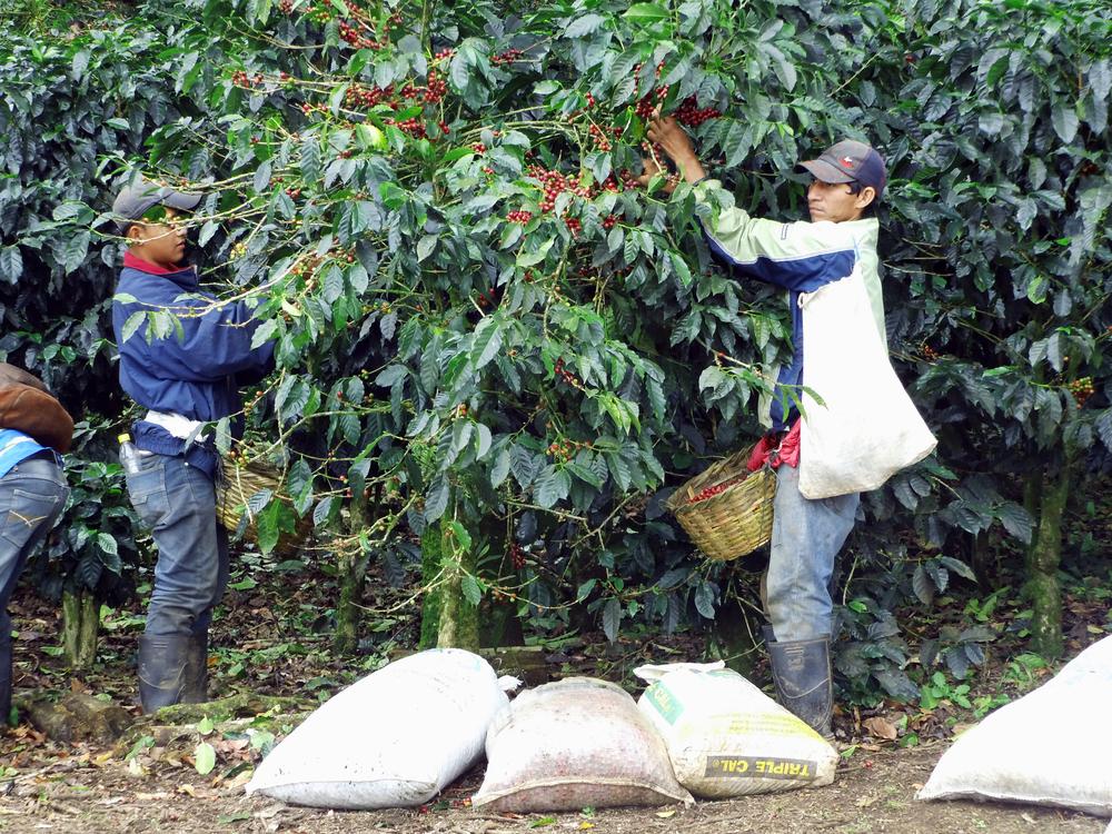 Paraiso harvest 2.jpg