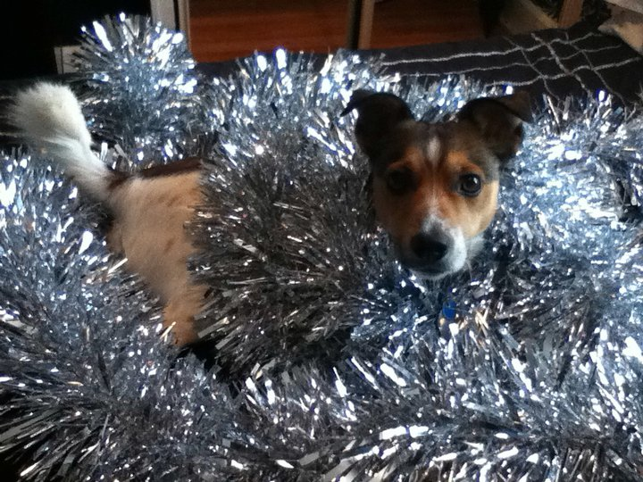 jack_russell_terrier_tinsel_christmas_dog