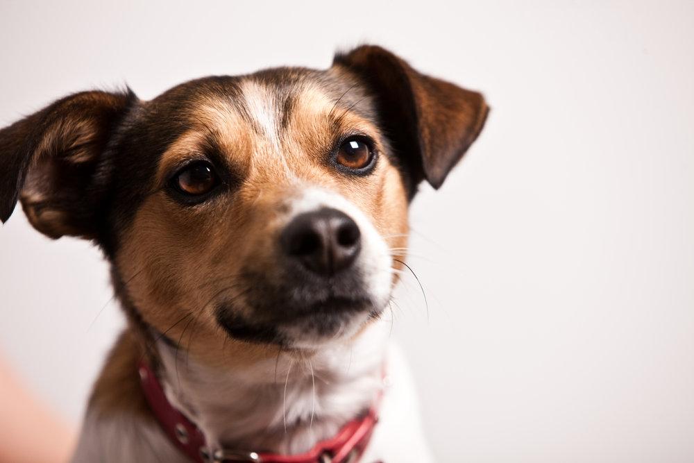 jack_russel_terrier_dog_blog_what_dogs_Can_Teach_us_elle_blonde_lifestyle_blog_tedco_award_winner