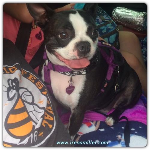 boston terrier road trip