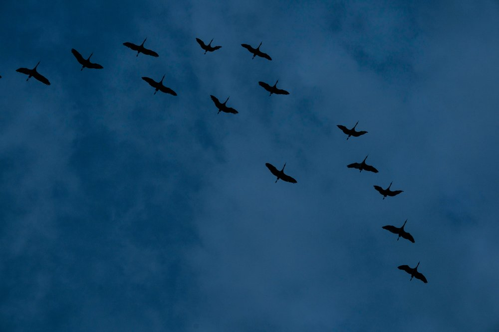 Annual Sandhill Crane migration