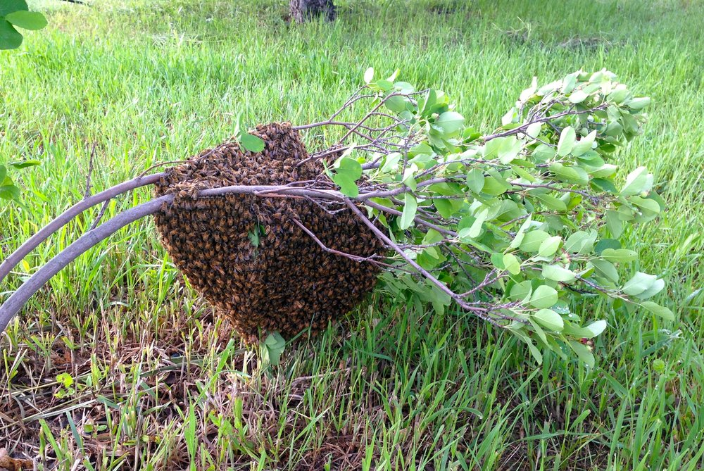 This swarm landed on a bush and a friend called and let me know. We cut off the branch, put the whole thing in a cardboard box, then brought it home and put the bees in a hive!
