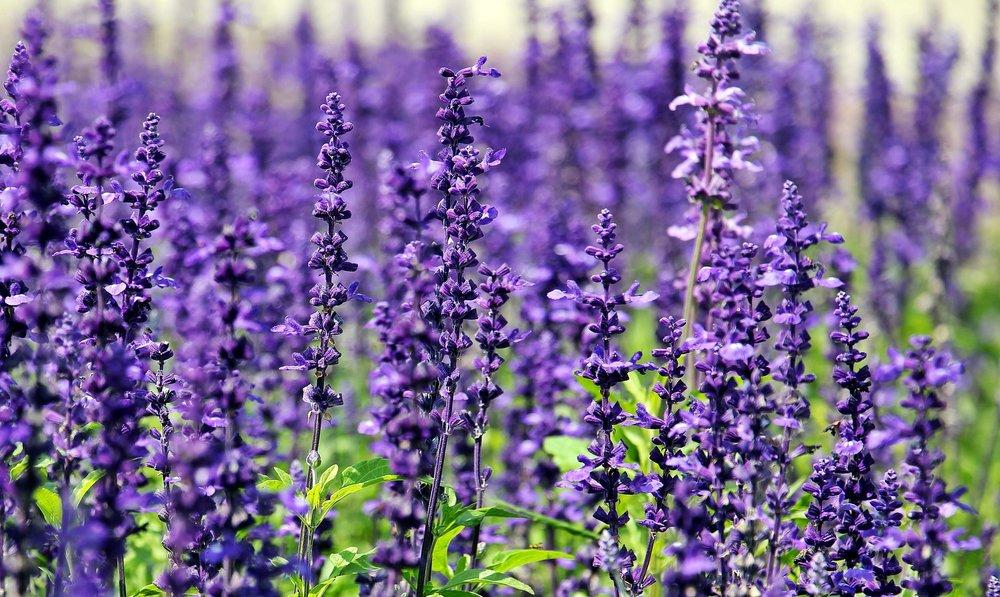 lavender-1507499_1920.jpg
