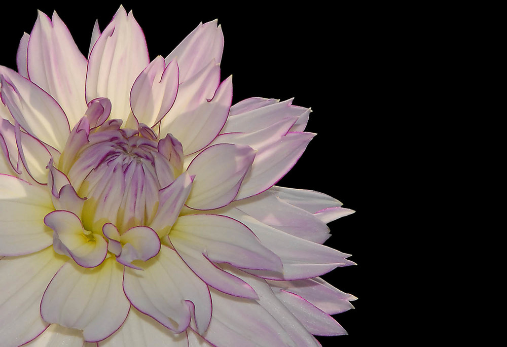 Pinkish Dahlia