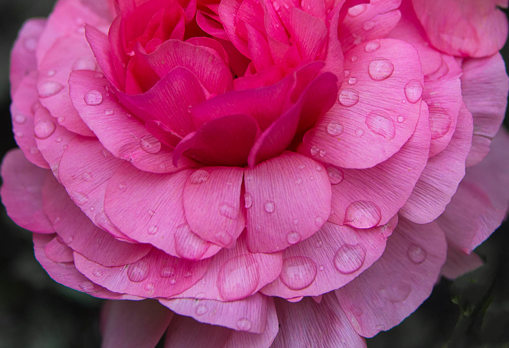 Ranunculus in the Rain