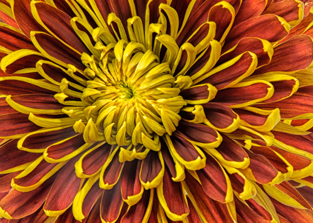 Red and Yellow Mum
