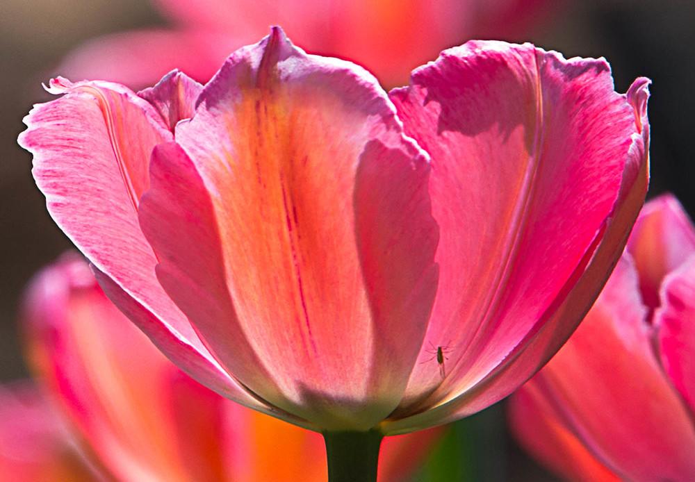 Tulip Glow