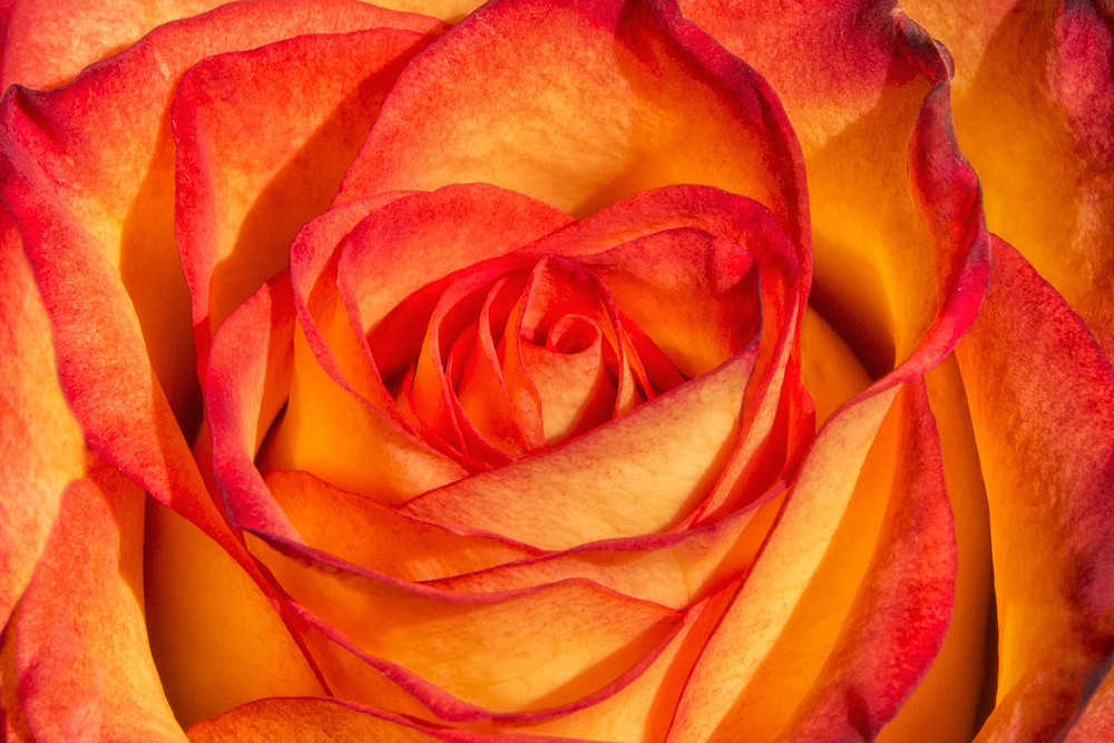 Yellow and Orange Rose