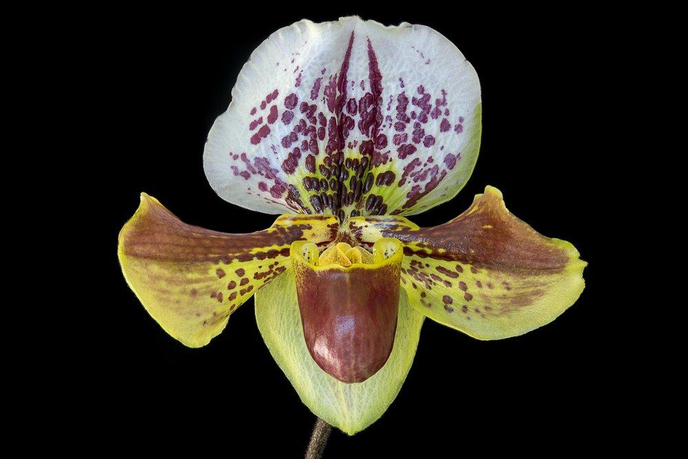 Paphiopedilum  Orchid, Lady's Slipper