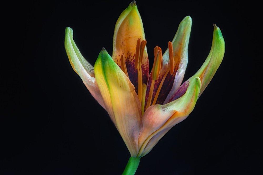 Tango Lily