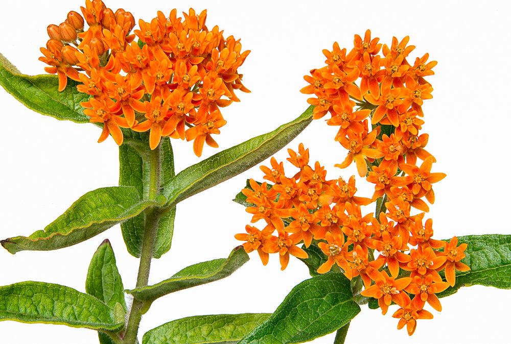 Butterfly Milkweed Plant - Asclepias Tuberosa