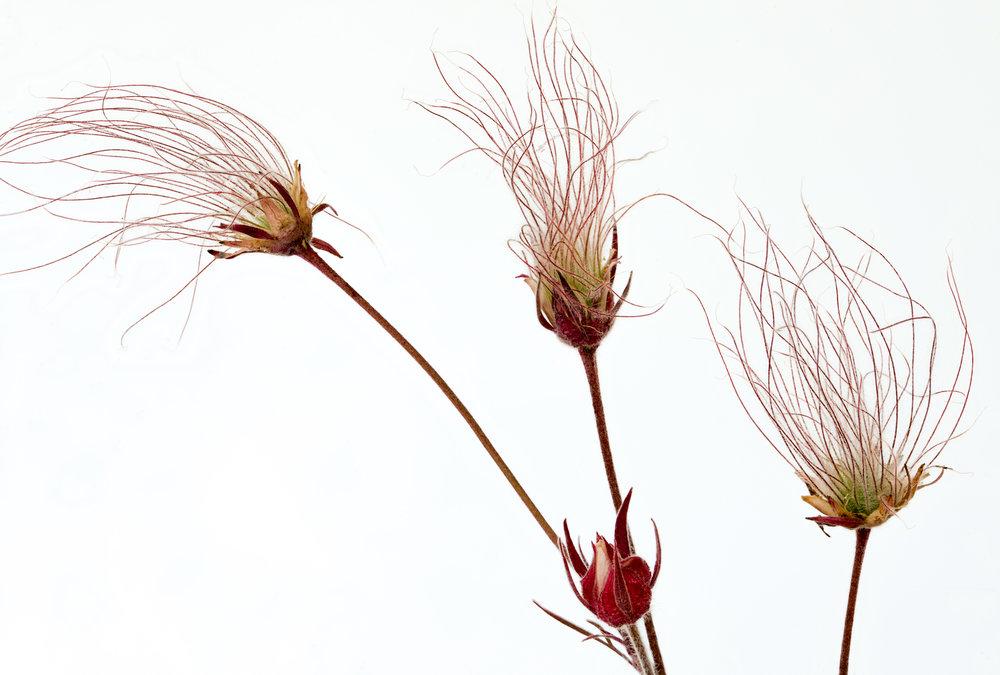 Prairie Smoke Seeds