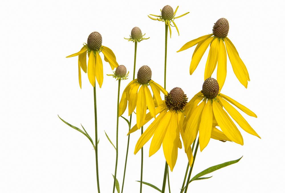 Yellow Coneflowers - Ratibida Pinnata