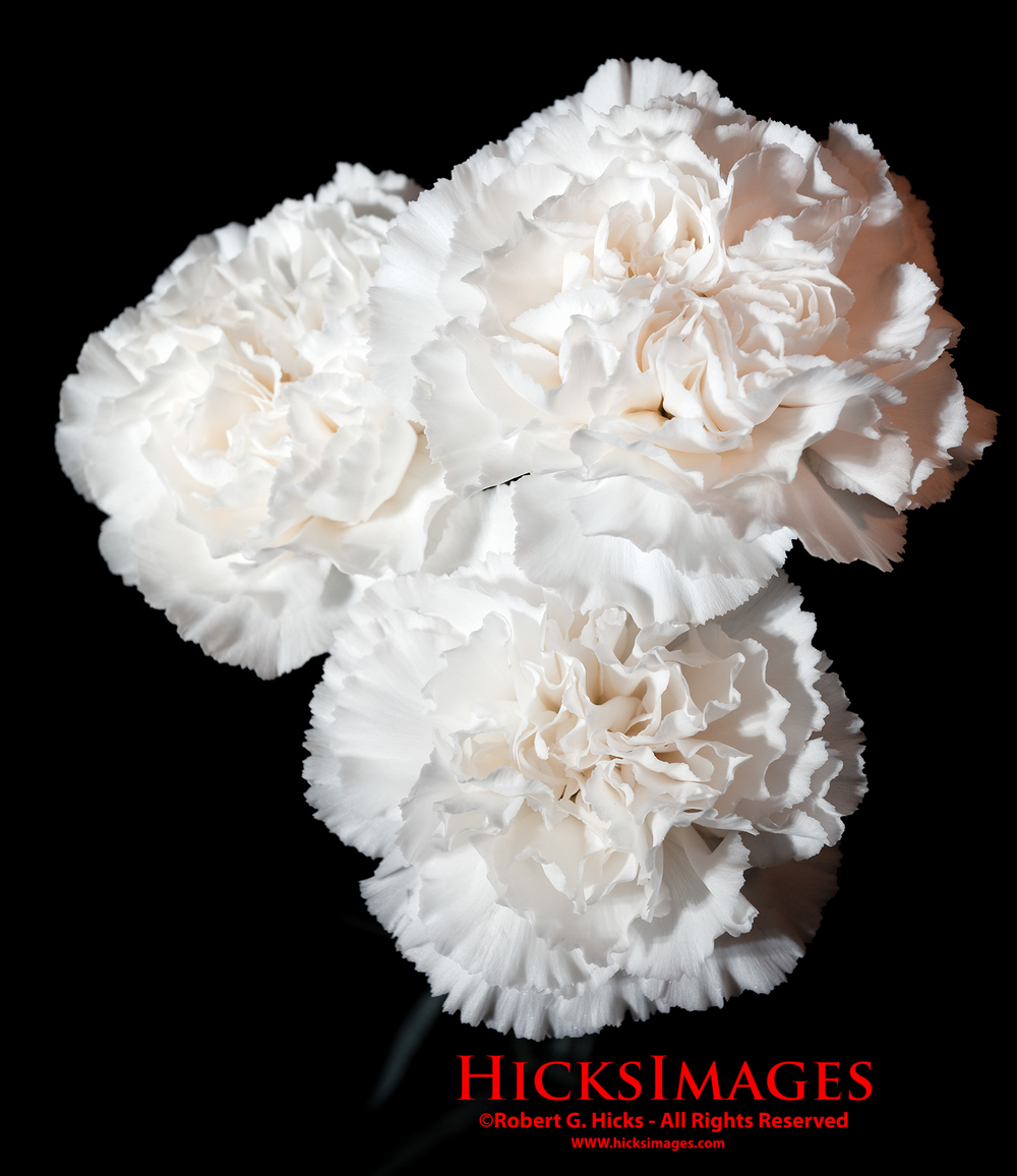 Three White Carnations