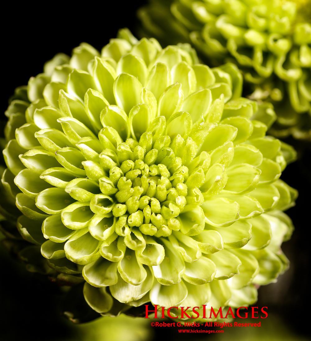 Green Pom Pom Blossom
