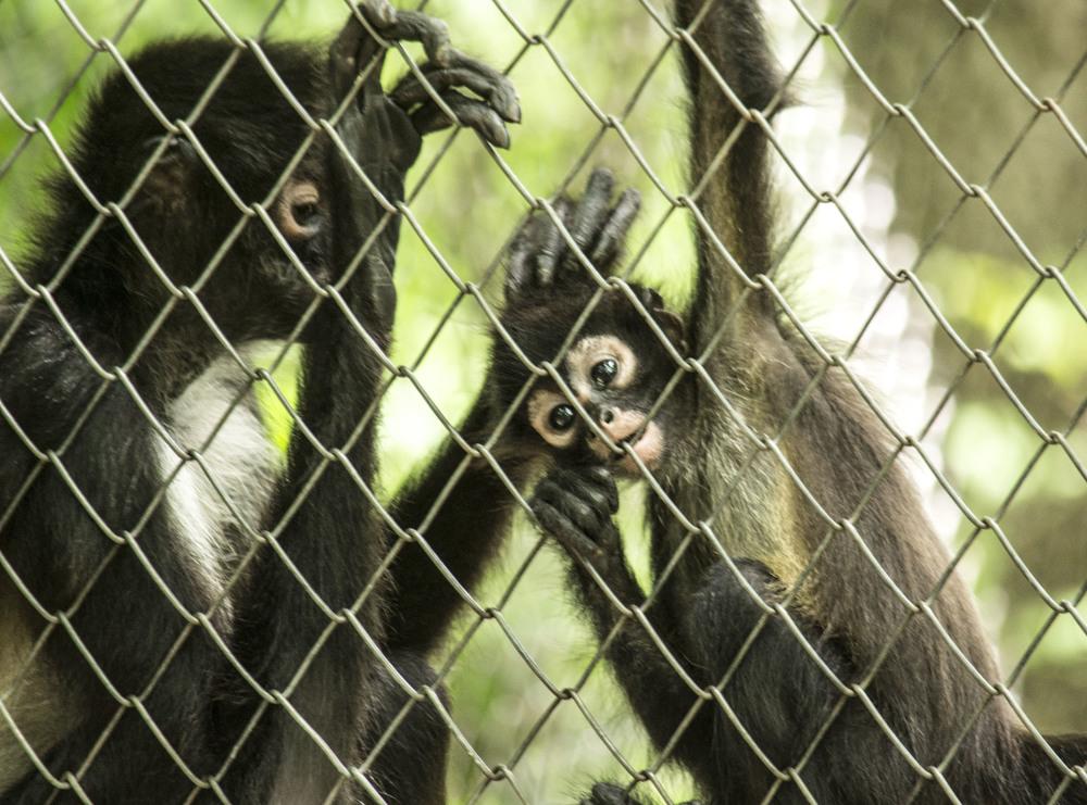 Spider monkeys.
