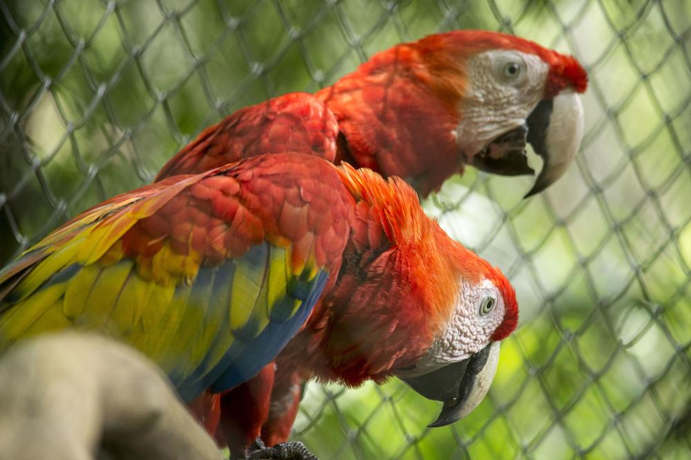 Photo by Karoline Hood. Scarlet macaw.