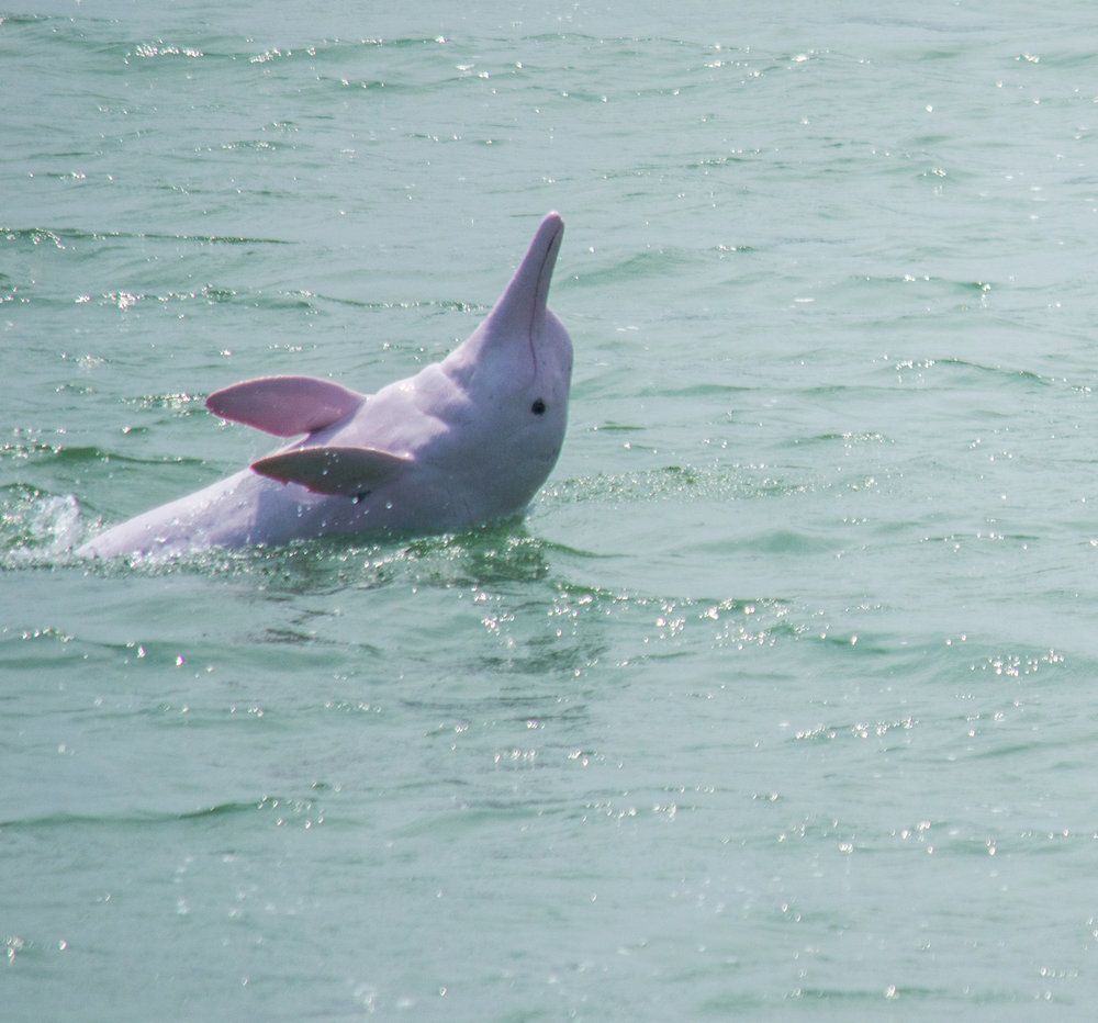 Photo by Karoline Hood. Rare Pink Dolphin also know as the Chinese white Dolphin.