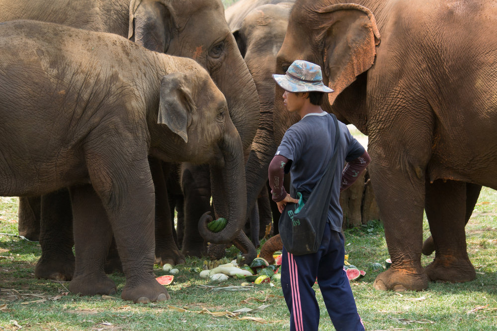 Photo by Karoline Hood. Rescued elephants and mahout at Elephant Nature Park.