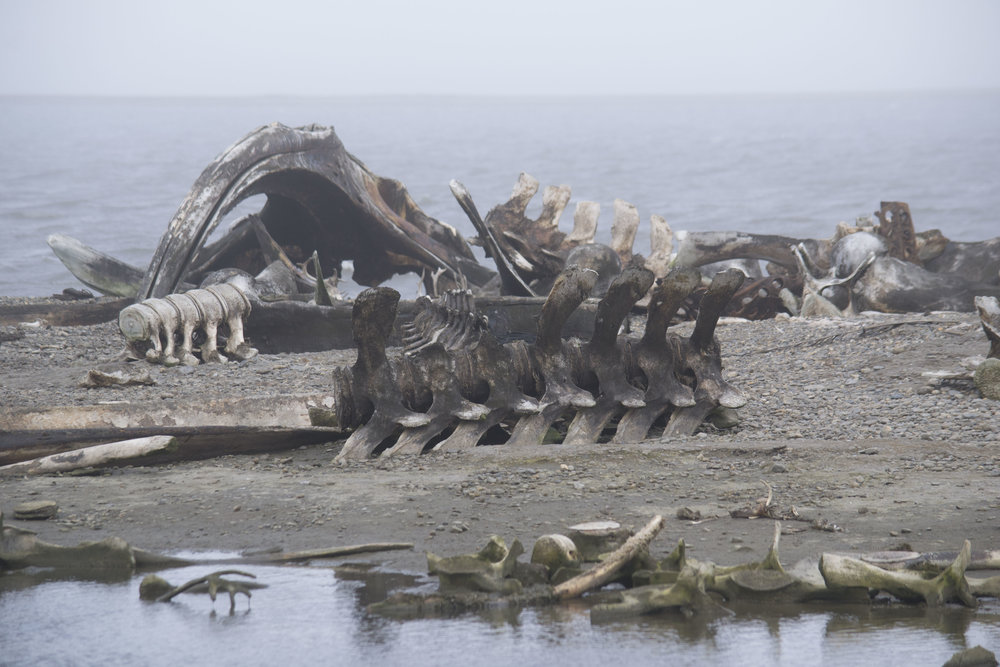 Photo by Karoline Hood.Foggy day in the Barter islands. Bowhead whale remains.