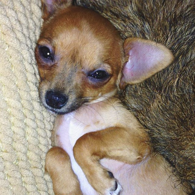 Happy National Puppy Day to my little angel 😇😇😇 #nationalpuppyday #mybaby #chihuahua