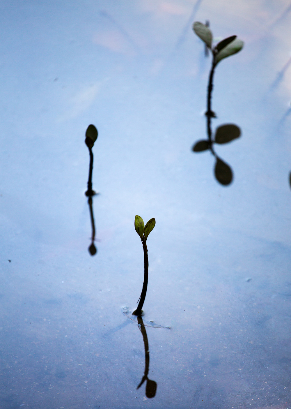 Mangroves Sprouting