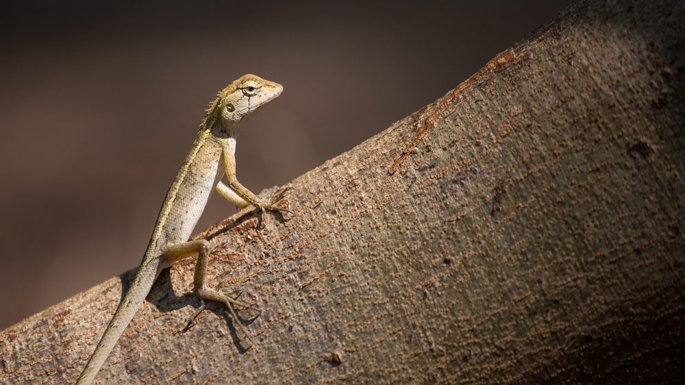 A small lizard poses for me on a tree root.