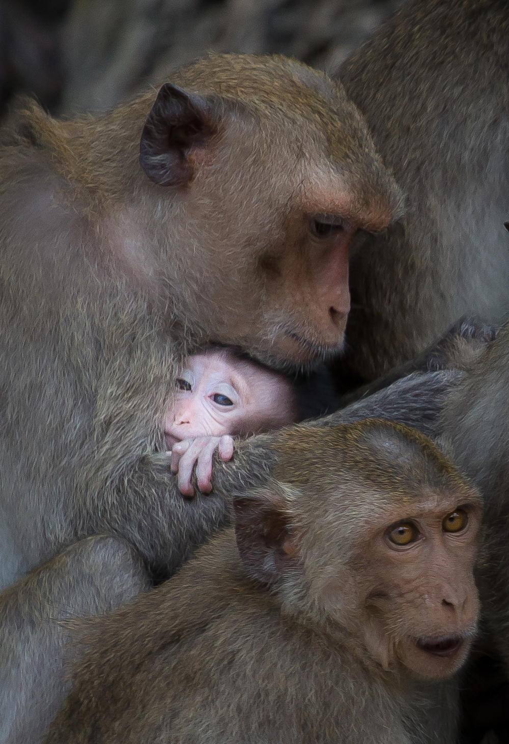 A group of monkeys gathers on a rock. A mother holds her small baby close to her chest.