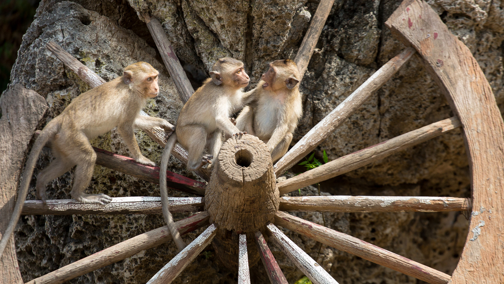 Three young monkeys play on an old wagon wheel.