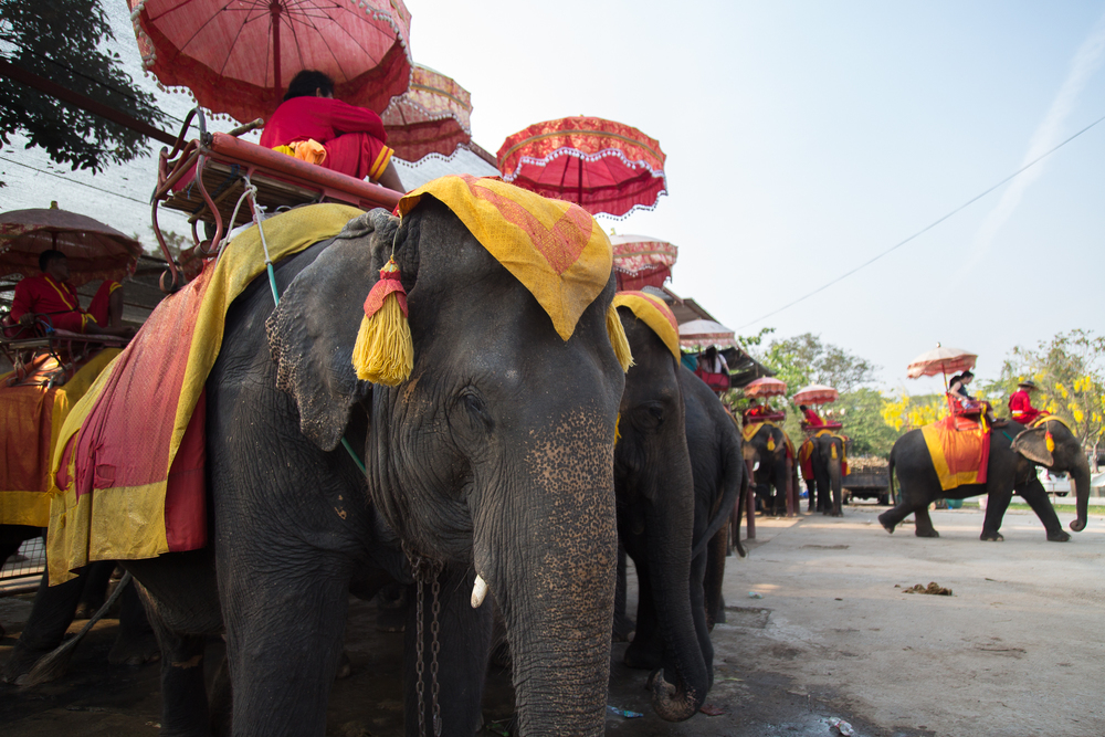 Elephants wait in a holding area before giving rides to tourists.