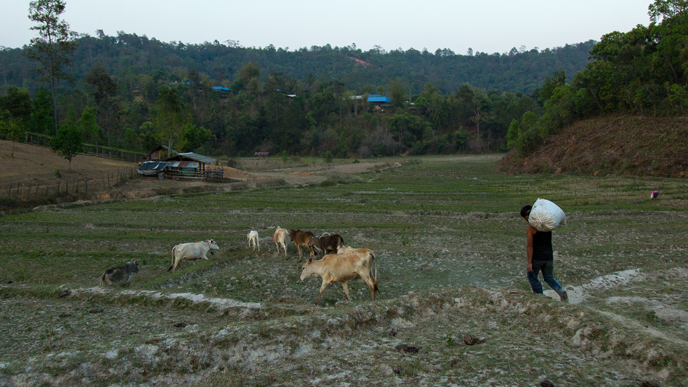 A man walks with his cows through dried rice paddies while carrying a bag full of feed on his back.