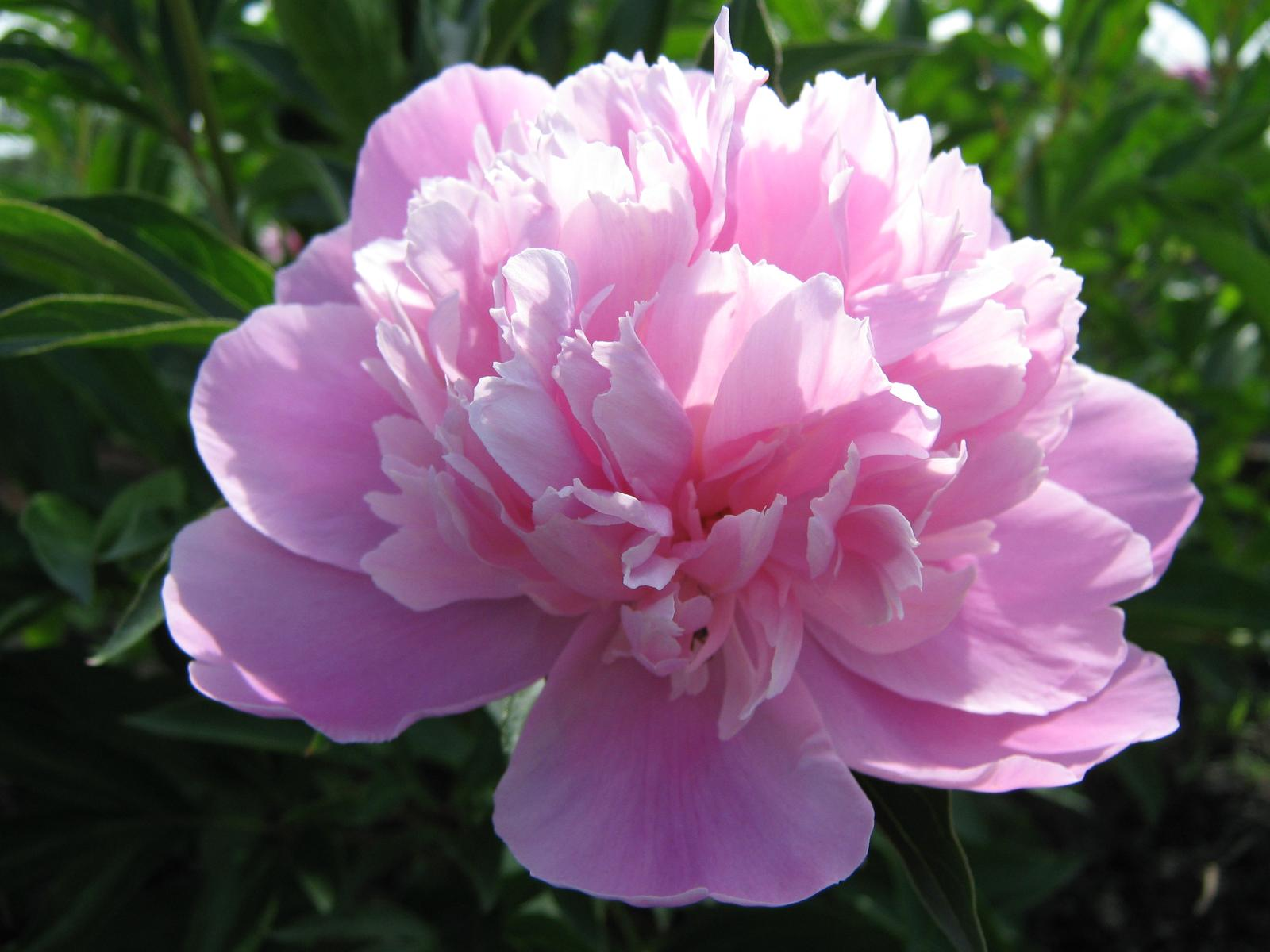 peony-flower-pictures