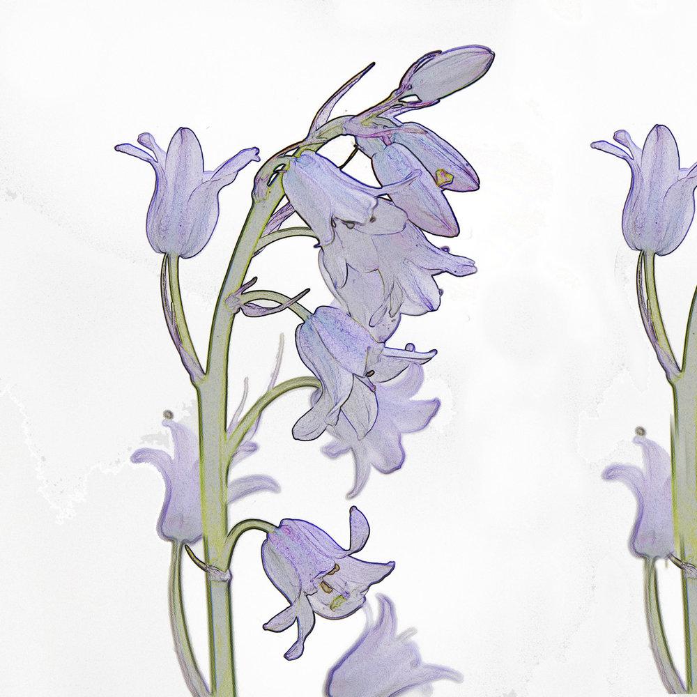 Bluebells-  BUY NOW