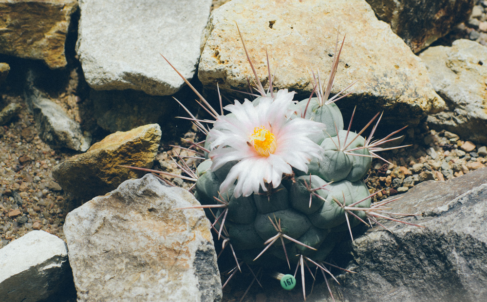 Cactus 167 Denver Botanical Gardens 2014