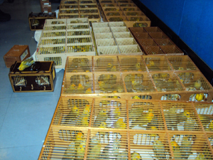 Image 8. 232 saffron finches and double-collared seedeaters discovered in Brasilia Airport in 2010. The trafficker moving the animals had two previous wildlife offenses. Source: Reprodução/Ibama