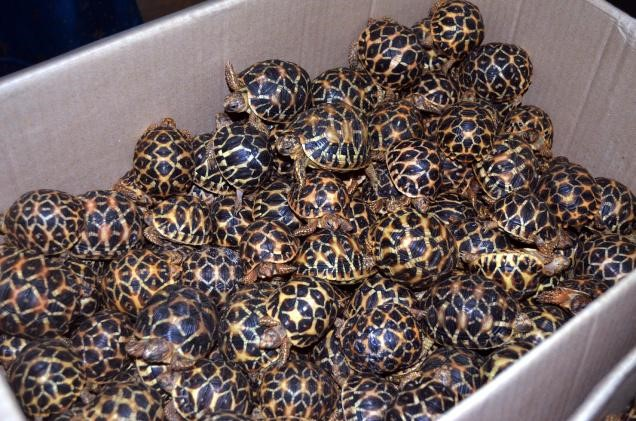 Image 17. Some of the Indian star tortoise hatchlings discovered in the luggage of Abdul Harish. Source: The Hindu