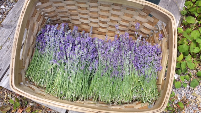 Our lavender hydrosol comes directly from lavender grown right here at the farm.